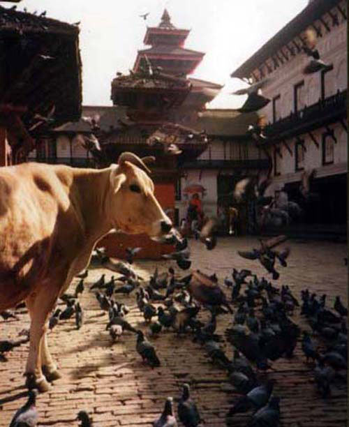 BIRDS & COWS WANDER FREELY NEAR PALACE ENTRANCE KATHMANDU