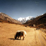 Lonely Himalayan Yak Grazing