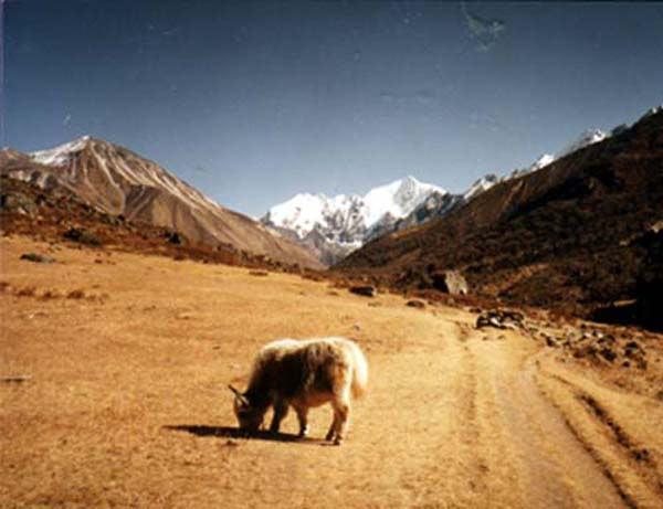 Lonely Himalayan Yak Grazing